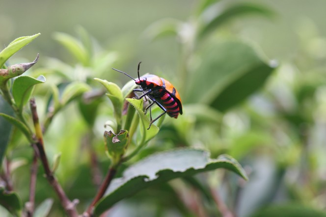 Elegant creature climbing over a tea bud.