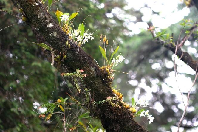 Autour des champs de thé, des orchidées sauvages