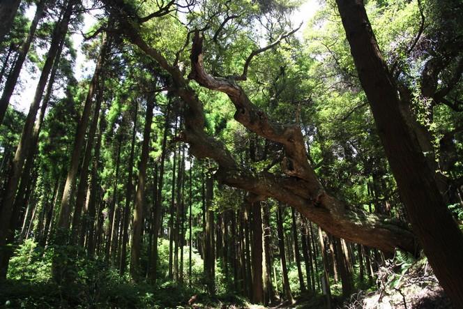 Visite des premiers jardins de thé japonais