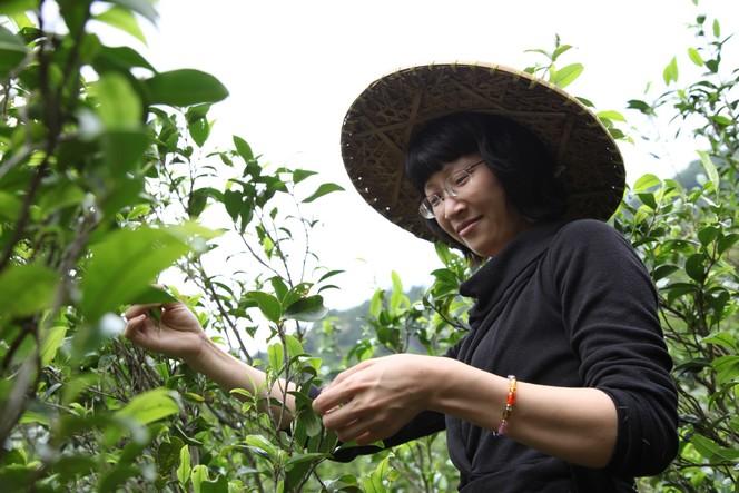 Récolte de thé sur des arbustes devenus grands