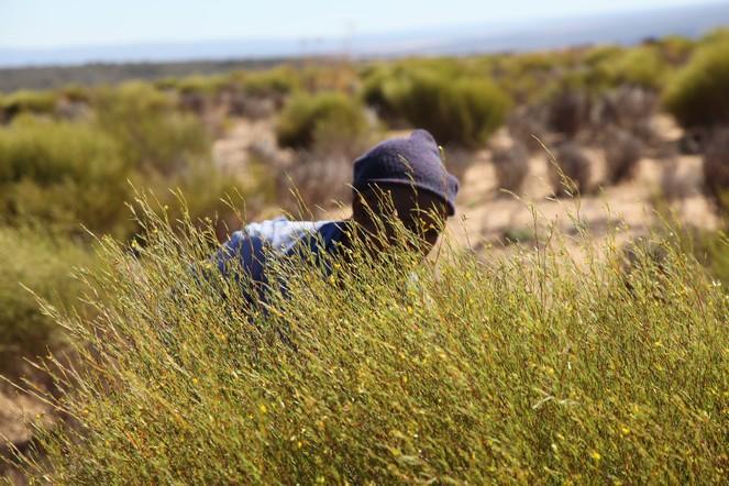 La récolte du rooibos en Afrique du Sud