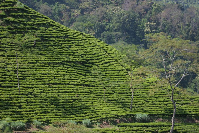 A Darjeeling, la récolte de printemps approche