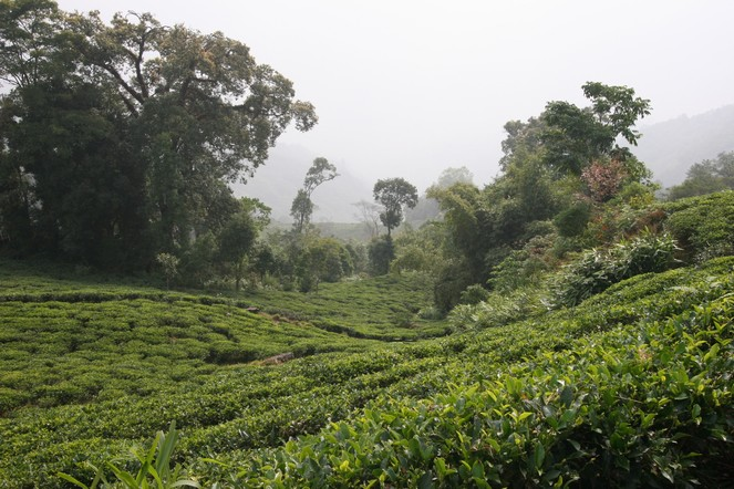 Les premiers Darjeeling de printemps arrivent