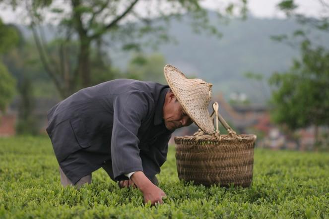 Les thés de printemps