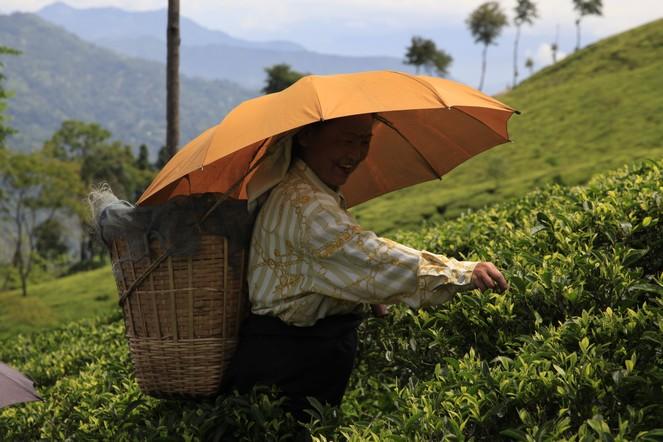 Début de la cueillette pour les « second flush » de Darjeeling