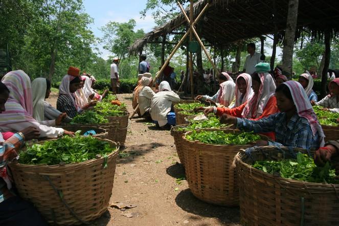 Les thés d'Assam valent le détour