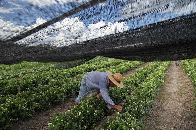 Les fleurs de jasmin qui parfument notre thé