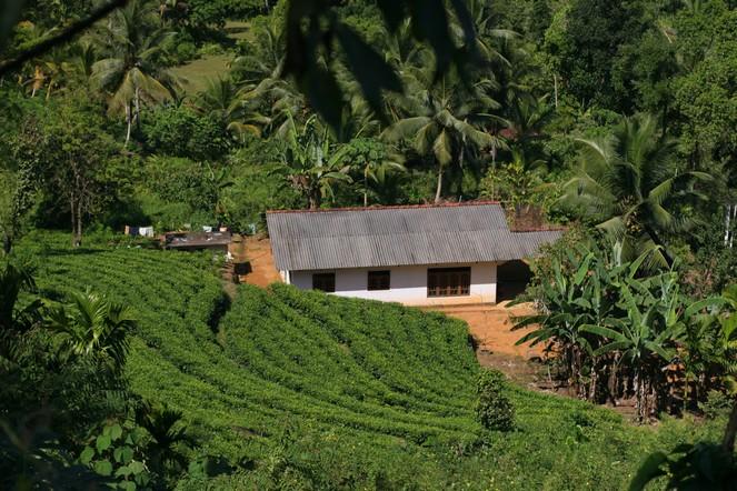 Une petite plantation au sud du Sri Lanka