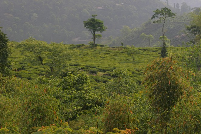 Les Darjeeling d'automne arrivent !