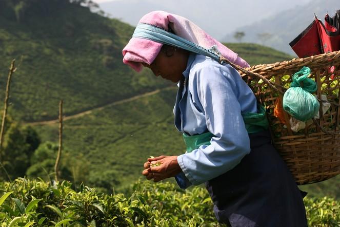 Les thés du jardin de Margaret's Hope