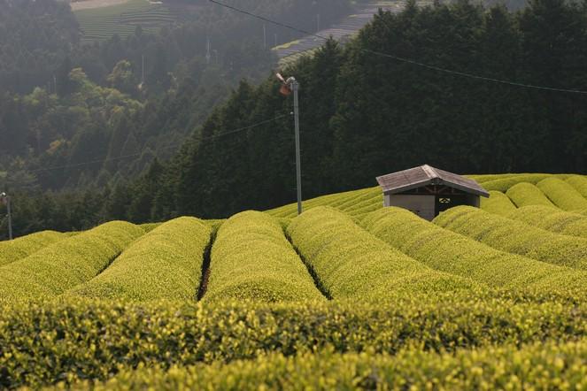 D'étranges silhouettes dans les champs de thé japonais