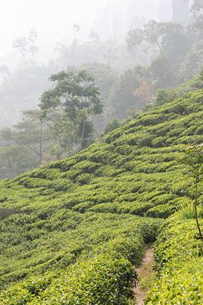 Quelques bonnes nouvelles de Darjeeling malgré la météo défavorable