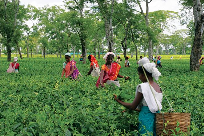 Thés et paysages d'Assam : un étonnant contraste