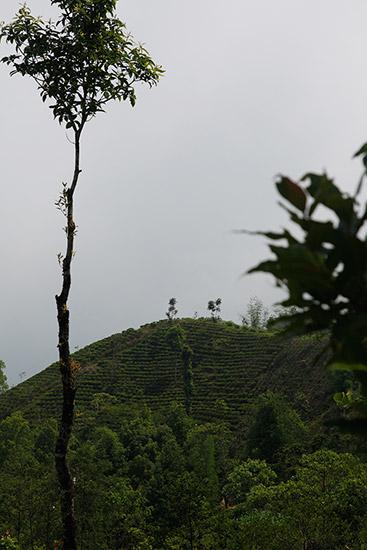 Le renouveau du thé passe par le Népal