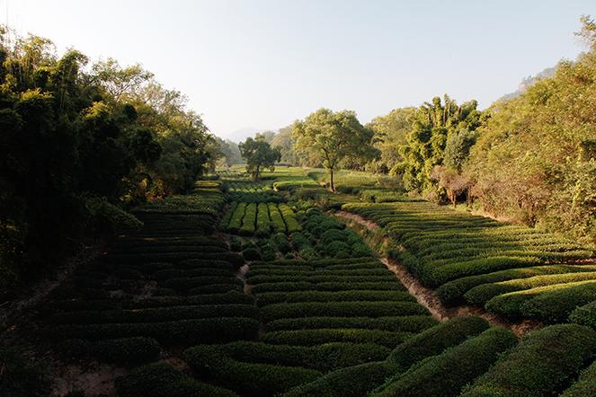 L'incroyable variété des thés du Fujian