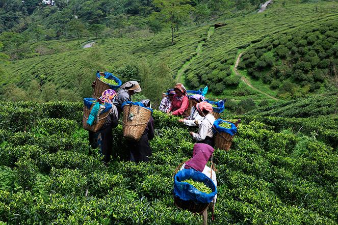 Récoltes de printemps à Darjeeling