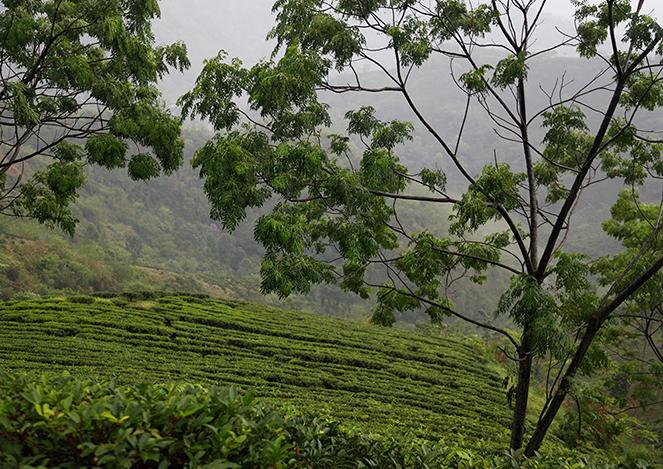 Un bilan des Darjeeling de printemps 2015