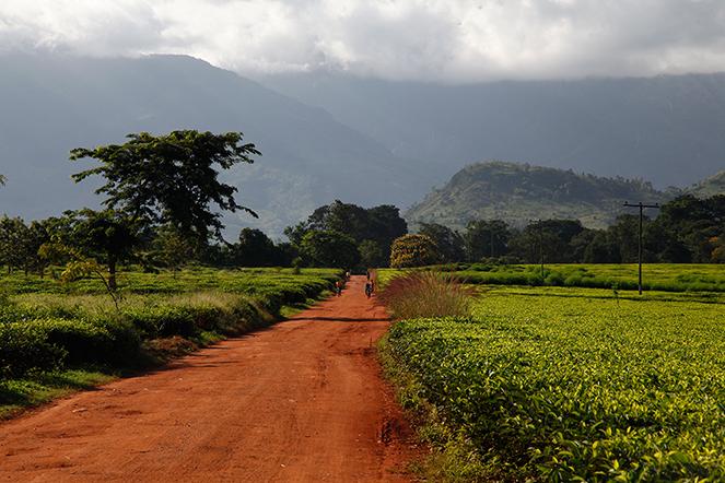 Plantation de thé au Malawi