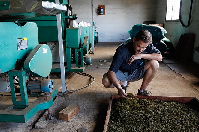 Alex, pionnier des Grands Crus de thé du Malawi