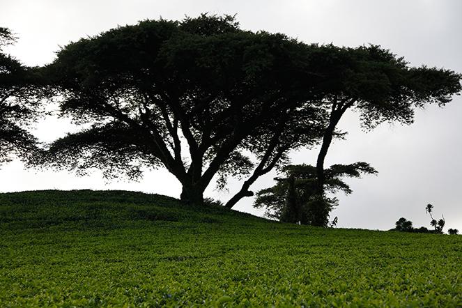 Des théiers à l'ombre des arbres