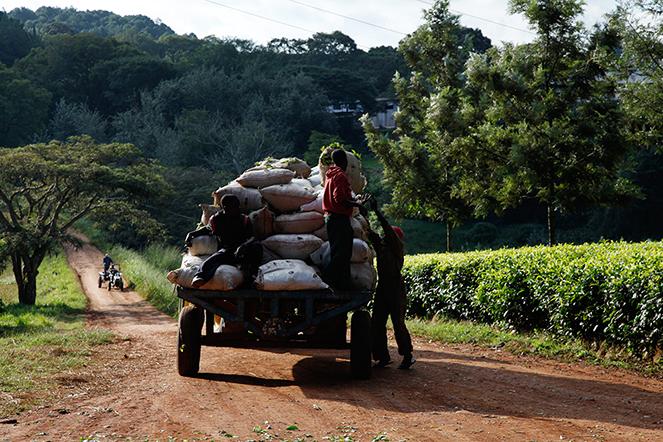 Transporter le thé fraîchement récolté : une étape cruciale