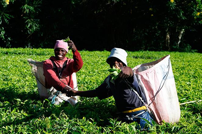 Des thés délicieux et équitables