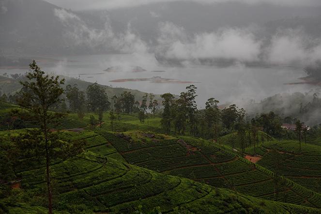 Un champ de thé au Sri Lanka