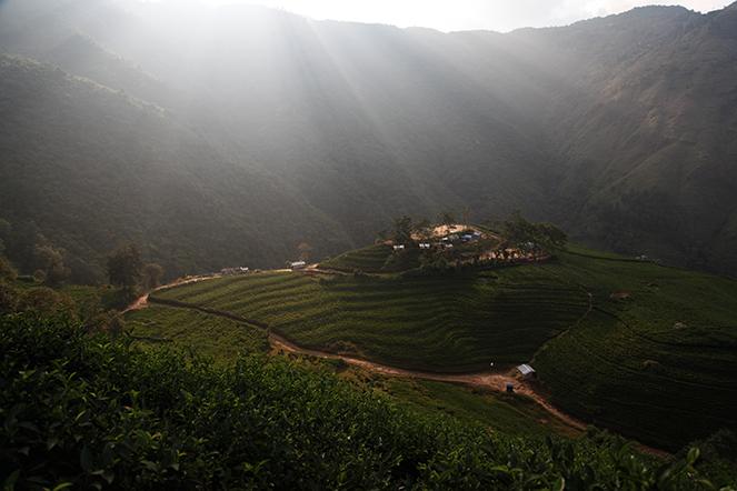 Incroyable lumière sur une plantation de thé au Nepal