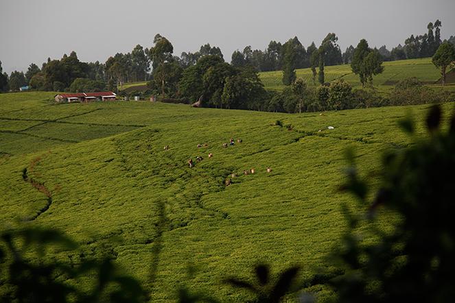 Le thé des pentes du mont Kenya