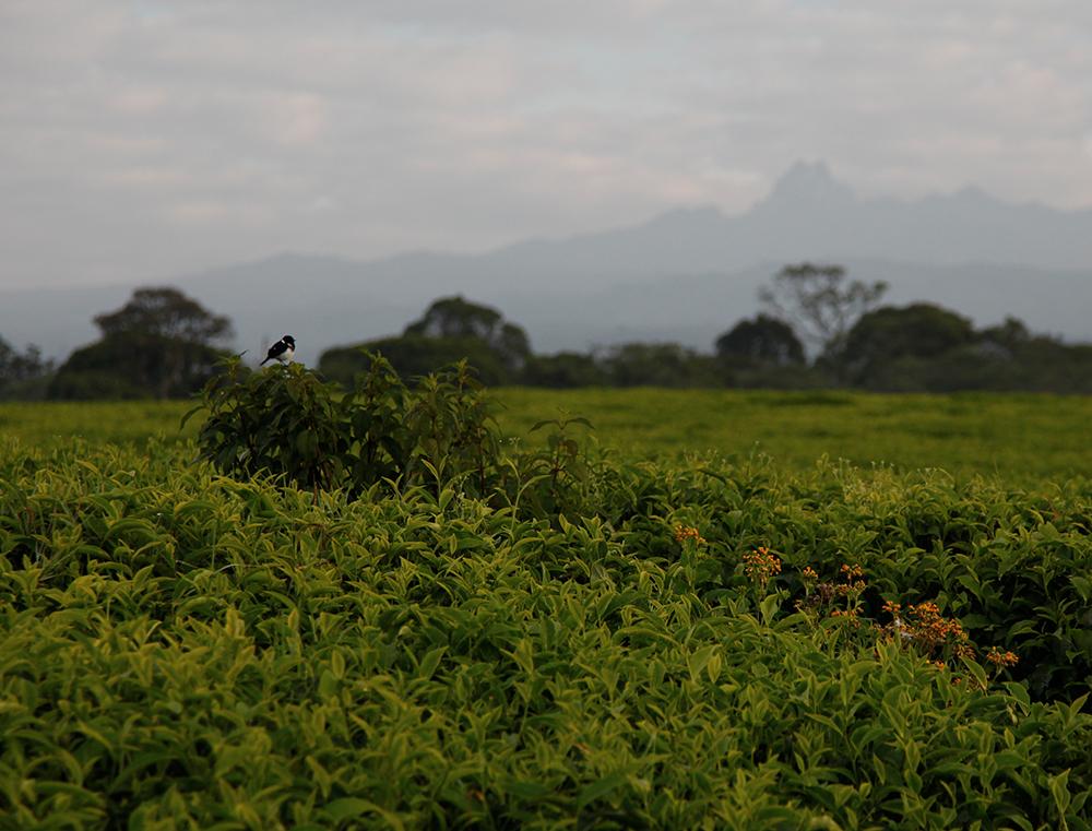 Une plantation de thé au Kenya