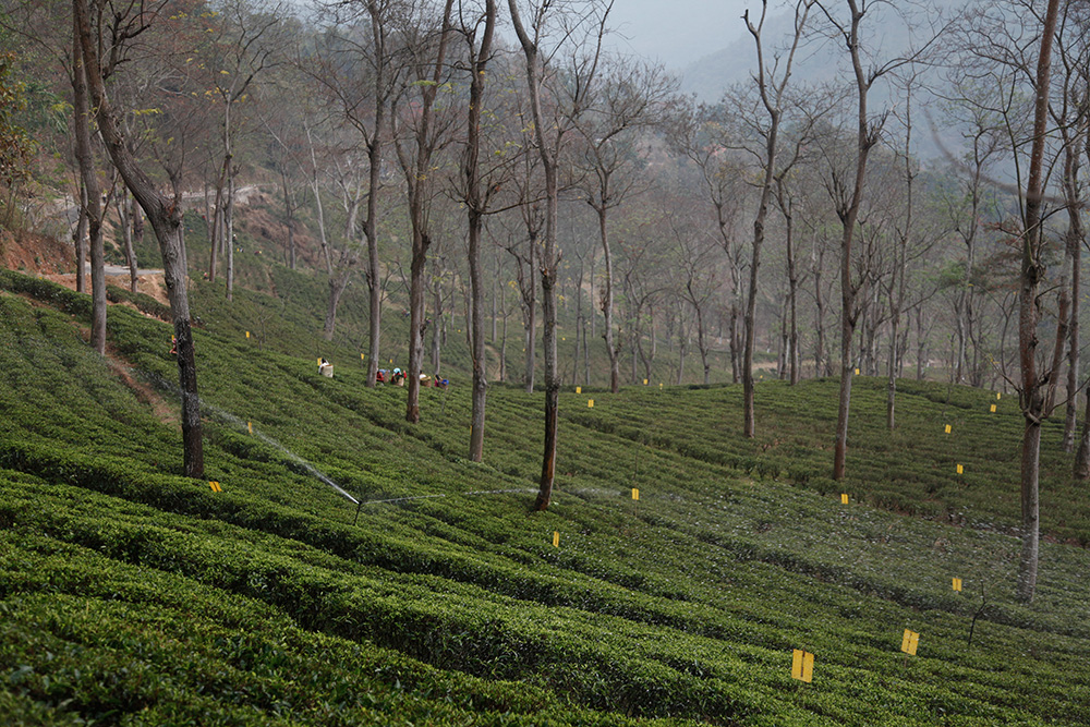Le micro climat des plantations de Darjeeling
