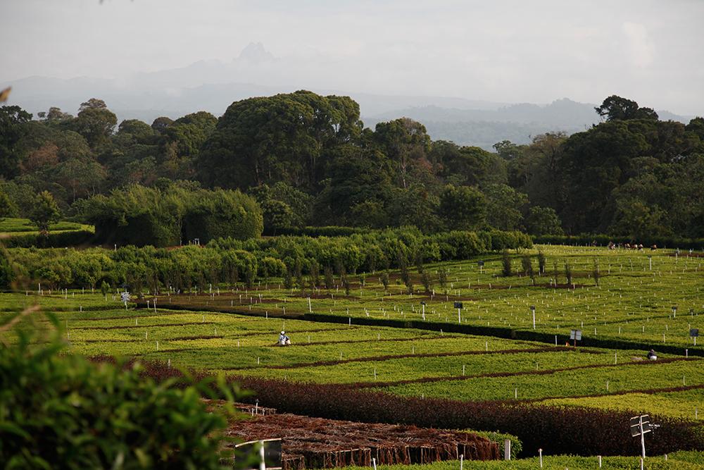 Kenya Plantation de thé de Kangaita