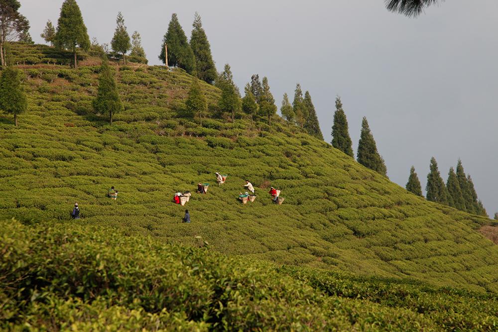 Thé de Darjeeling et thés du Népal : deux écoles