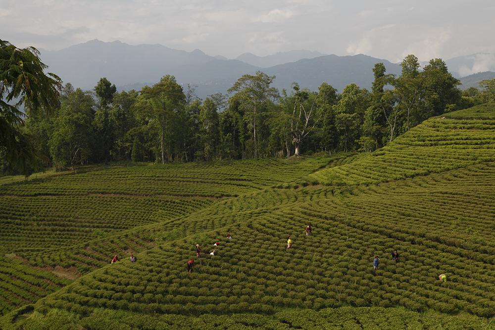 Récolte au Népal