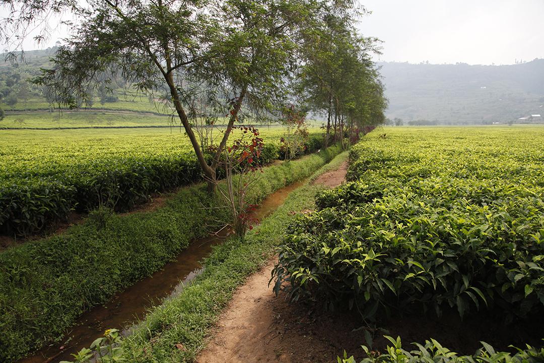Irrigation et drainage de l'eau des théiers au Rwanda