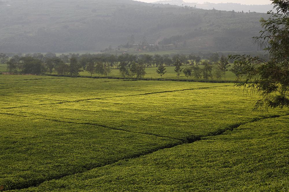 Plantation au Rwanda