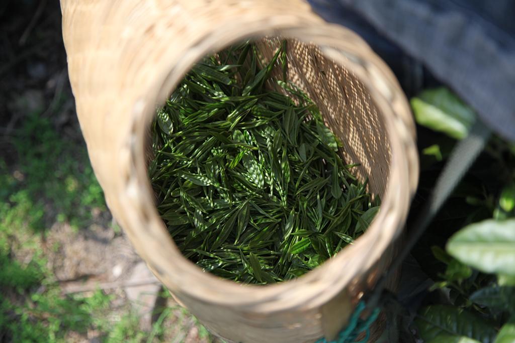 récolte d'un grand cru dans l'Anhui
