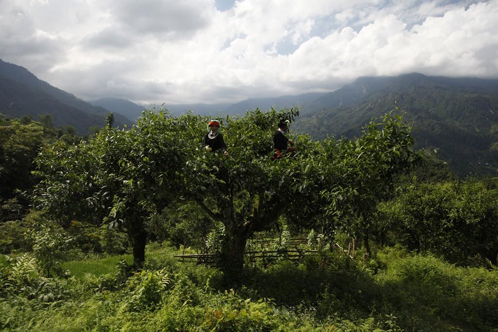 Une cueillette au sommet à la frontière sino-vietnamienne