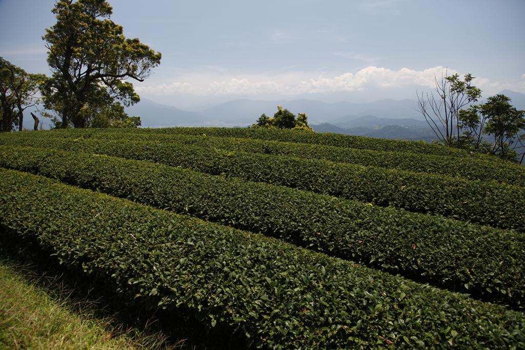 plantation de thé taïwanaise