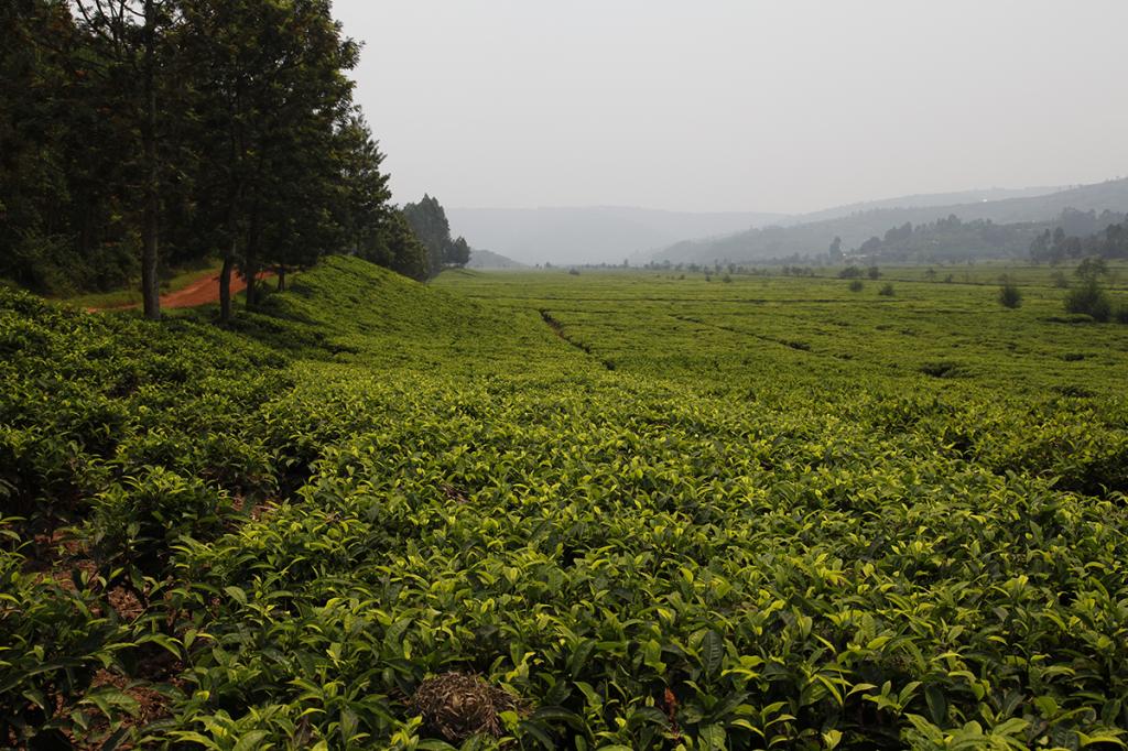 Paysage rwandais