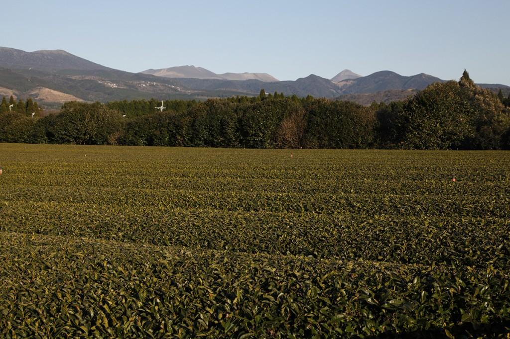 Plantation de thé dans la région des volcans, au Japon