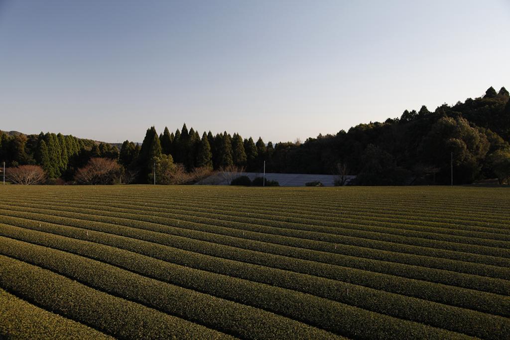 Plantation de thé à Kyushu