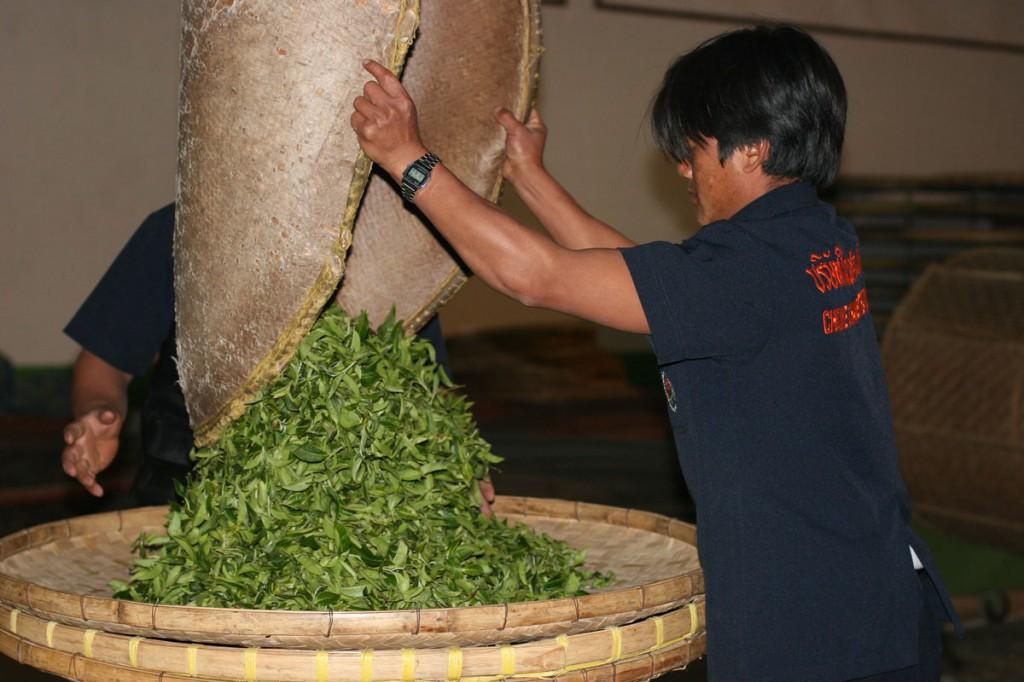 Récolte de thé en Thaïlande