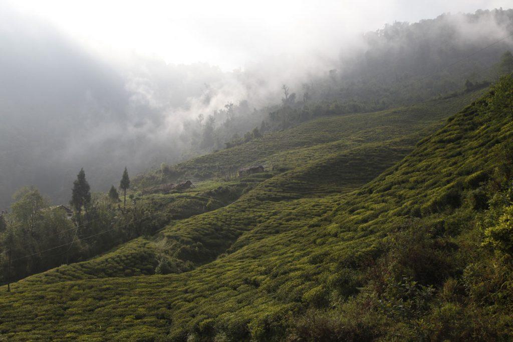Les producteurs de thé indiens se plaignent de la concurrence déloyale du Népal et je ne comprends pas leurs revendications. Les producteurs de thé indiens ne se plaignent pas du fait que le Japon, la Chine ou d'autres pays encore produisent du thé. Ils sont bien obligés de faire avec. Mais dans le cas du Népal, l'Inde agit comme si elle pouvait faire pression sur ce pays dépourvu d'accès à la mer pour lui imposer ses conditions, lui faire payer des taxes et l'empêcher dans les faits d'exporter son thé. Le Népal est un pays particulièrement pauvre qui achète la plupart de ses biens de consommations à l'Inde et qui est donc sous une certaine dépendance vis-à-vis de l'Inde. Et l'Inde en joue. Parmi les reproches des producteurs de thé indiens, et particulièrement de Darjeeling, le fait que les thés du Népal feraient une concurrence déloyale aux thés de Darjeeling. Pourtant, à mes yeux, les thés du Népal ont leur caractère propre, ils sont reconnaissables, ils n'ont nul besoin du prestige de Darjeeling pour rayonner par eux-mêmes. Et leur rapport qualité-prix est excellent, bien meilleur que les thés de Darjeeling et c'est sans doute ce qui irrite le plus l'Inde. Enfin, et c'est heureux, le Népal commence à se faire un nom et un grand nom dans le domaine du thé. C'est une chance et cela vaut mieux que ce trafic qui a duré tant d'années entre certains jardins de Darjeeling peu scrupuleux qui faisaient venir à bas prix les feuilles de thé fraîches du Népal pour les manufacturer en Inde et faire croire ensuite qu'il s'agissait de pur Darjeeling… !