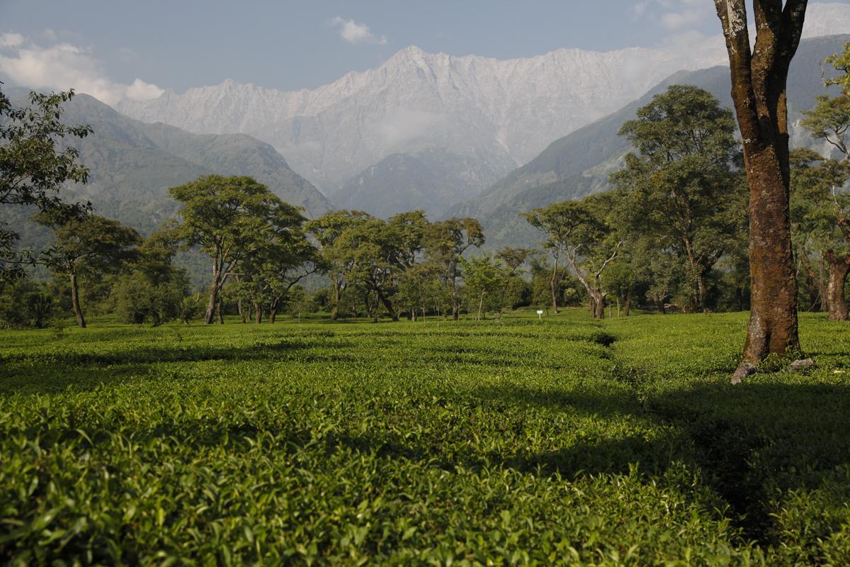 Des thés de qualité au pied des Dhauladhar