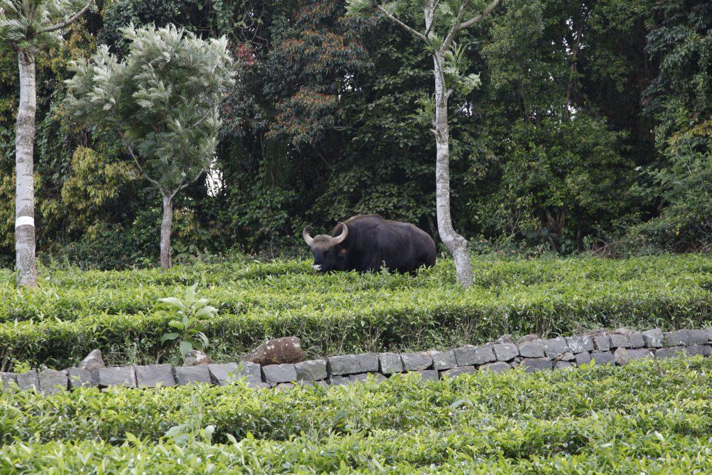 Le gaur : un désherbant puissant