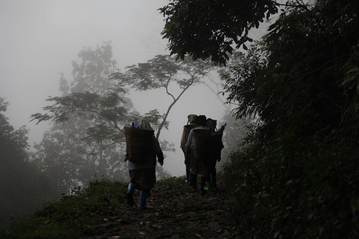 Darjeeling manque de main d'œuvre