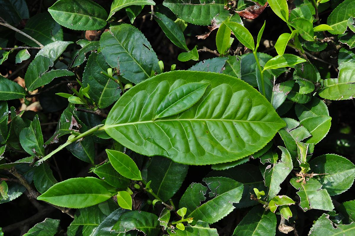 Les variétés sinensis et assamica
