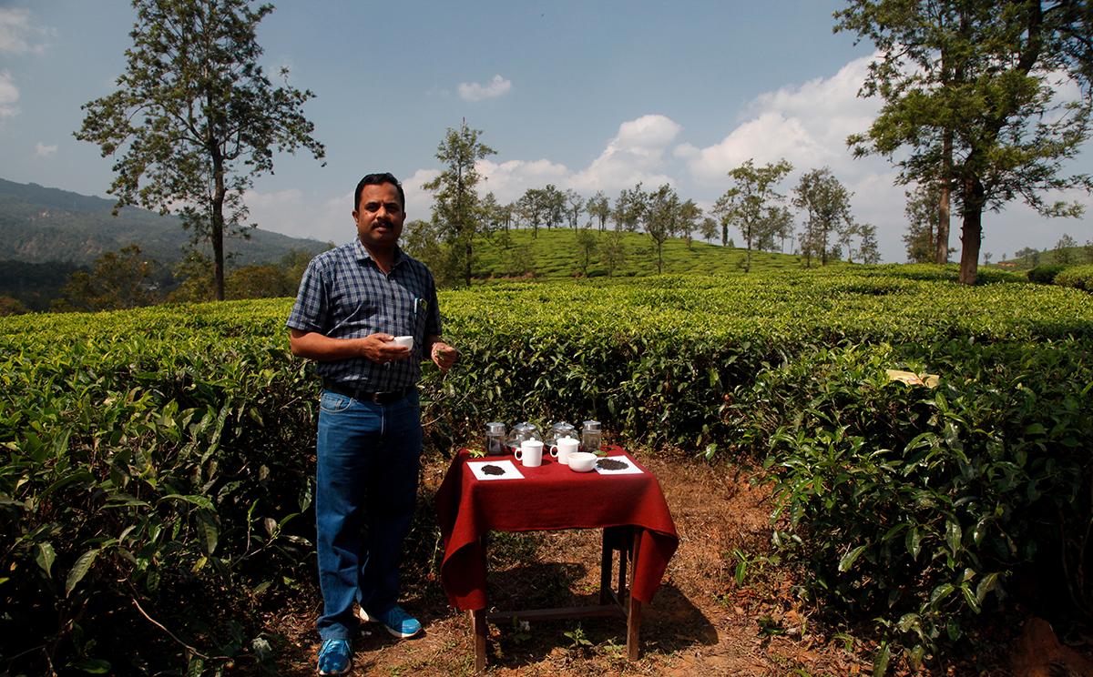 Dans les champs de thé